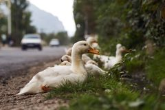 Duck`s family on the walk. little duckling. Crossing the road stock images
