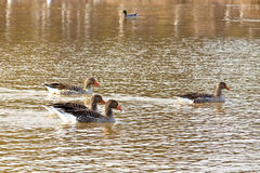 Duck's. Group of  duck's  on the lake Stock Photography