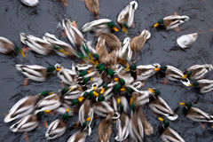 Duck's on the river. Speed, center royalty free stock photos