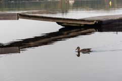 The duck`s swimming by the dock. As the reflection from the dock is over the water Stock Photo