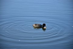 Duck cleanliness royalty free stock image