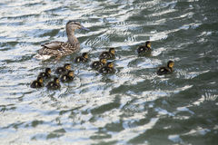 Duck s swimming on lake surface. Duck with ducklings swimming on lake surface Stock Photo