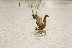 Duck sacudiendo sus alas en el lago Beletsi Grecia Foto de archivo libre de regalías