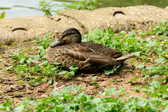 Duck sat in grass Stock Image