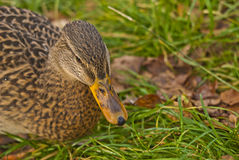 Duck, scientific name, anatidae Stock Photos
