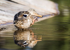 Duck scratches his nose. In the park in autumn Royalty Free Stock Photos