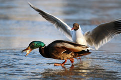 Duck and seagull on the ice. In winter Stock Photos