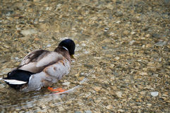 Duck. Searching for food in a mountain lake Royalty Free Stock Images