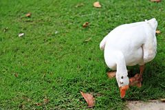 Duck is seeking food on the green field. Plant park nature natural beautiful grass Stock Images