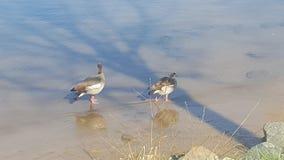 Duck in seligenstadt Royalty Free Stock Photos