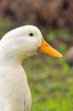 Duck Series 6 Stock Photos