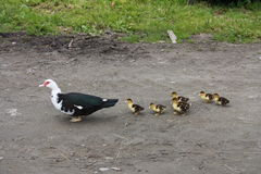 Duck with seven ducklings stock photography