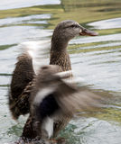 Duck shaking water off wings Royalty Free Stock Photography