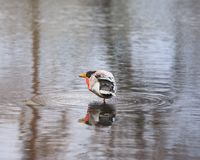 Duck In Shallow Water image libre de droits