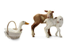 Duck and sheep Stock Images