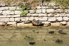 A duck sheltering from the midday heat by a stone wall riverbank. A single duck standing in water during the daytime in river in France during the summer stock photography