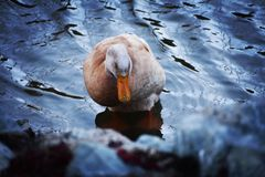 Duck on shimmering water. Shy duck on Lake of shimmering waters waiting to be fed stock image