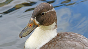 Duck with shiny brown feathers and white neck Stock Images