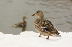 Duck on the shore of the frozen lake. Duck at the lake in the snow Stock Photo