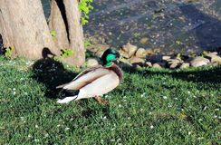 Duck on the shore of the pond Stock Image