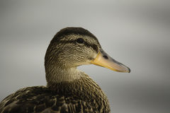 Duck shot. A duck gets her profile shot with blurred gry background Royalty Free Stock Images