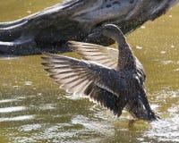 Duck Shower Lizenzfreie Stockfotos