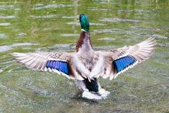 Duck Showing maschio fuori dalle ali Immagini Stock Libere da Diritti