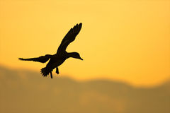 Duck silhouette Stock Photos