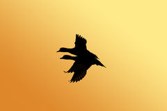 Duck silhouette. Flying ducks silhouette Royalty Free Stock Photo