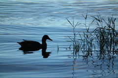 Duck Silhouette Royalty Free Stock Photography