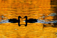 Duck Silhouetted on Golden Pond. Two ducks swimming towards each other silhouetted on golden pond Stock Photo