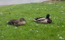 Duck Silver Bantam Male e fêmea Foto de Stock