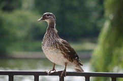 Duck. A duck sit in the park Stock Photography