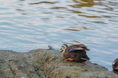 Duck sit on riverbank. Stock Photos