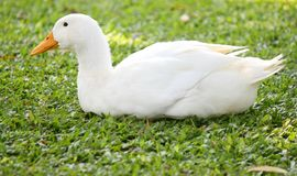 Duck sits Royalty Free Stock Photos