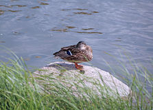 Duck sits on a rock in a pond Royalty Free Stock Photo