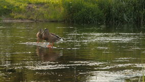 Duck sits on a stone, flowing river stock footage