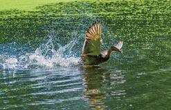 Duck sits on the water. Mallard - a bird from the family of ducks detachment of waterfowl. The most famous and common wild duck. Closeup stock image