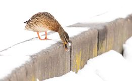 Duck sits on white snow in winter.  Royalty Free Stock Photos