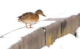 Duck sits on white snow in winter.  Stock Photography