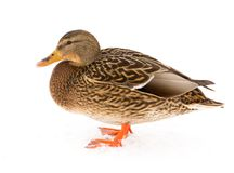 Duck sits on white snow in winter.  Royalty Free Stock Images