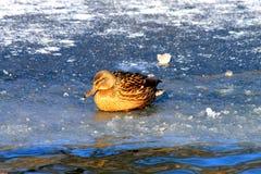 Duck sittiing no gelo em um lago congelado Fotografia de Stock Royalty Free