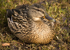 Duck sitting Stock Photo