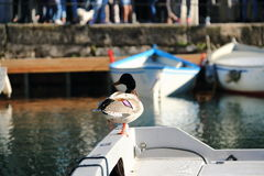 Duck sitting on board a boat on Lake Garda, Italy Stock Photo