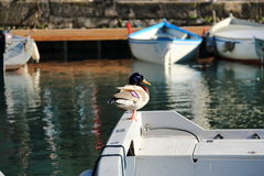 Duck sitting on board a boat on Lake Garda, Italy Stock Photos