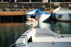 Duck sitting on board a boat on Lake Garda, Italy Royalty Free Stock Images