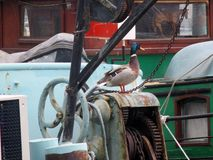 Duck sitting on boat in canal Royalty Free Stock Image