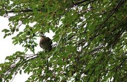 Duck Sitting dans un arbre Photographie stock
