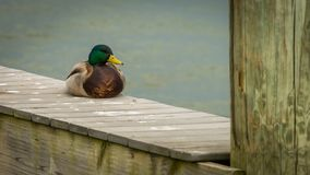 Duck sitting on Dock. Duck sitting on a Dock in Alexandria Virginia Royalty Free Stock Photos