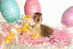 Duck sitting in easter basket Royalty Free Stock Photo